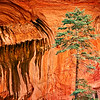 An evergreen tree in front of a canyon wall in Zion National Park, Utah
