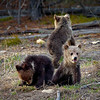 Three grizzly bear cubs in Yellowstone National Park, Wyoming.