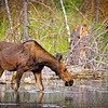 Cow Moose Feeding along Snake River - Grand Tetons
