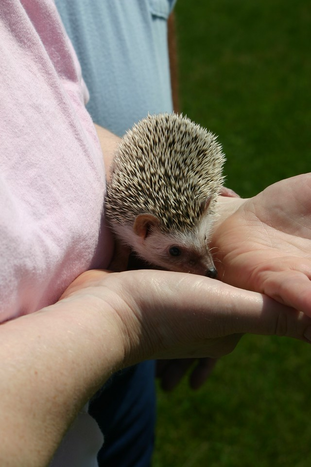 Going Home (06/15/2004)  A hedgie gets delivered quite a few hundred miles from home.  Filename reference: 20040615-112613-HAH-Going_Home-SM