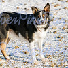 A two year old working Boarder Collie on the Bulkley Ranch<br /> Jan 2018