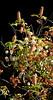 Native clematis vines grow into host buckeye tree, Twin Ponds Loop, Shell Ridge, June 20, 2014.