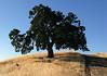 Valley Oak, Bench and Black Lab, Sugarloaf Ridgetop Trail