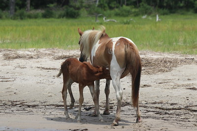 A Wild Pinto Mare and Foal
