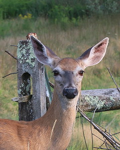 A Doe up close on Crow Hill