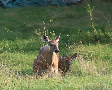 Doe and Fawns on Crow Hill