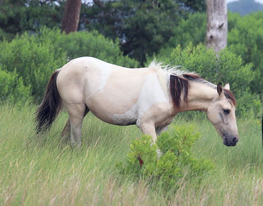 A Wild Pony on Assateague Island, Virginia.