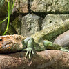 Mr. Iguana