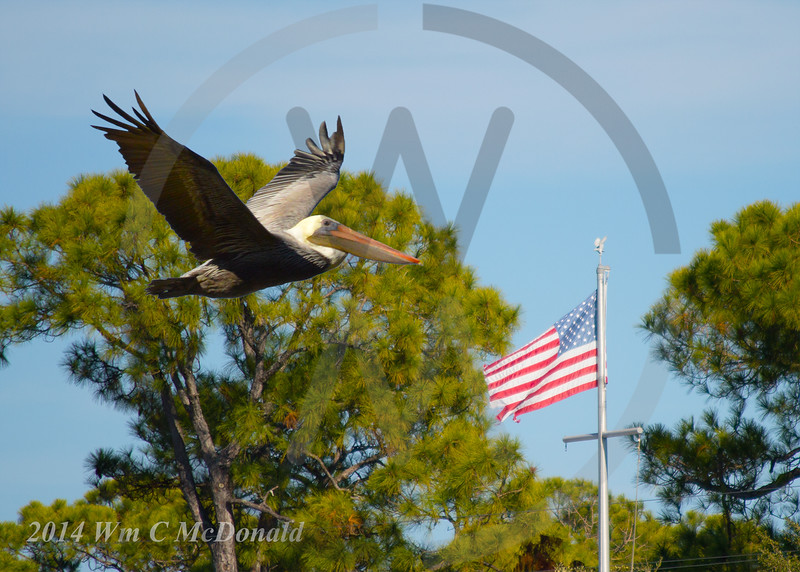 Pelican with flag