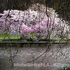 The Pink Tree Project - St. James Park,  London