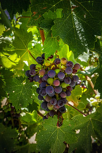 Napa Grapes #3
