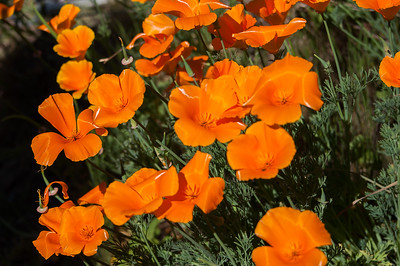 Poppies! By the Cut!