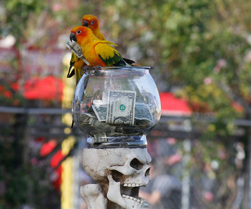Parrots collect dollar bills during the The Pirate's Parrot Show on opening day of the Silver Dollar Fair Thursday May 25, 2017 at the Silver Dollar Fairgrounds in Chico, California. (Emily Bertolino -- Enterprise-Record)