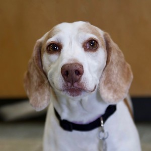 Beverly Beagle