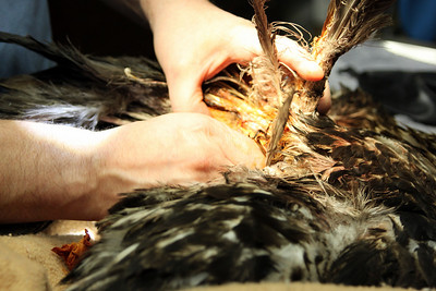 Wounds must be cleaned and feathers removed from the area.
