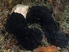 Aplysia vaccaria