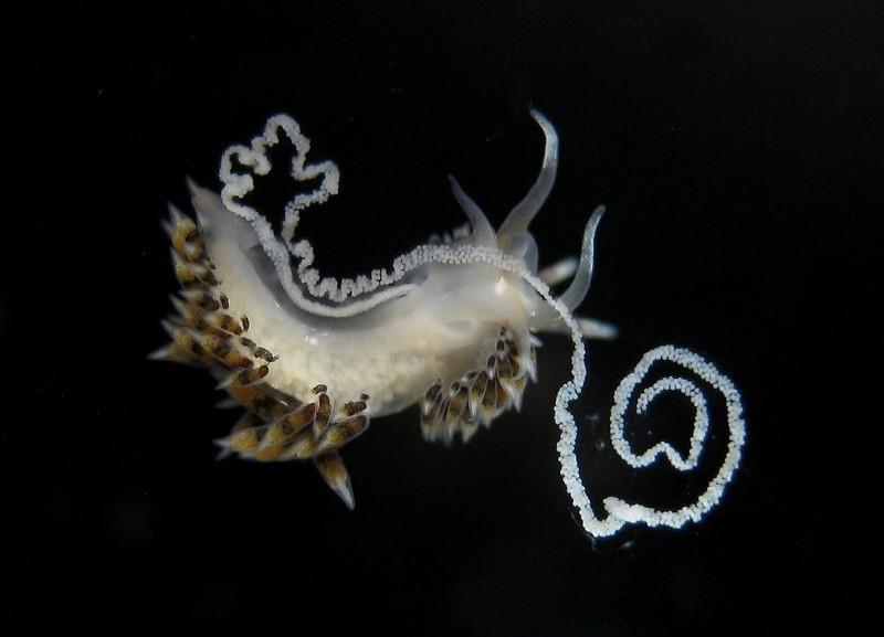 Emarcusia morroensis