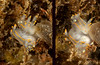 Ancula gibbosa