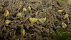 Haminoea virescens
