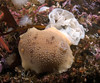 Peltodoris nobilis and eggs