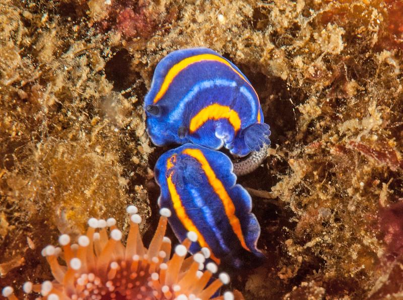 Felimare porterae laying eggs