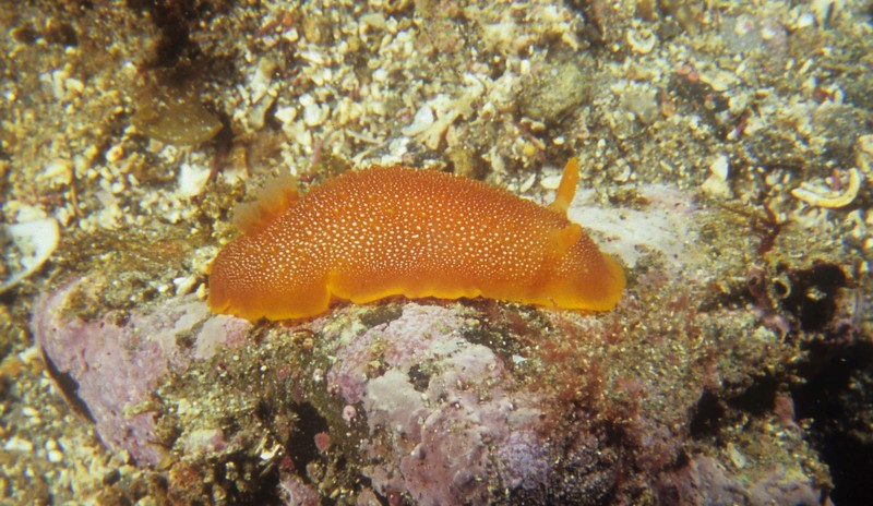 Doriopsilla davebehrensi Hoover, Lindsay, Goddard & Valdés, 2015.  Living animal, approximatelyh 60 mm in length.  At Punta la Gringa, BLA, Baja Calif.