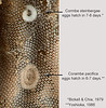 Coranbe egg masses