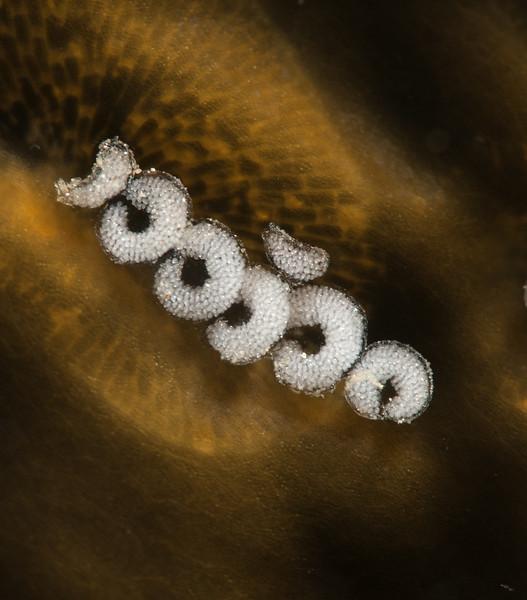 Corambe steinbergae - embyros developing in curled egg sacs
