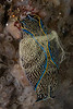 Navanax laying eggs<br /> King Harbor, Redondo Beach, Los Angeles County, California<br /> Photo by Merry Passage