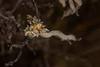Okenia angelensis egg mass<br /> King Harbor, Redondo Beach, Los Angeles County, California<br /> Photo by Merry Passage