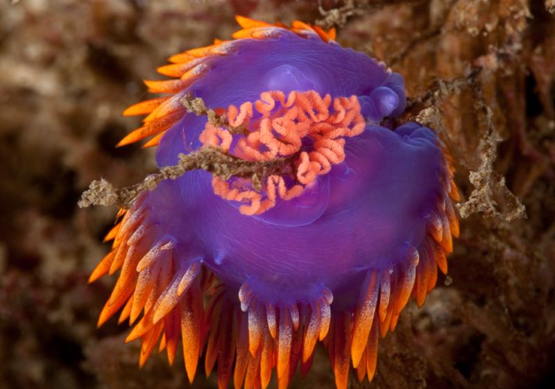 Flabellinopsis iodinea