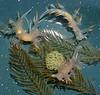 Dendronotus albus on Abeitinaria sp.