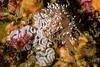 Cuthona nana (or divae?) laying eggs<br /> Halfway Reef, Palos Verdes, Los Angeles County, California<br /> Photo by Merry Passage