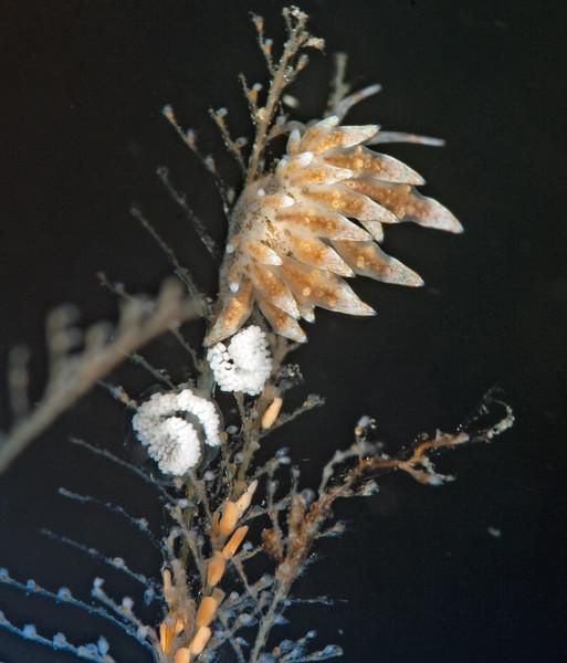 Eubranchus rustyus