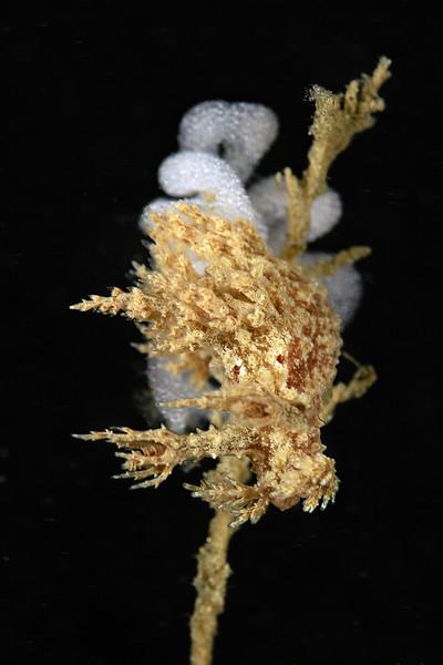 Dendronotus venustus egg mass<br /> Little pipe, Santa Monica Bay, California<br /> Photo by Phil Garner