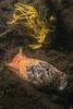 Bulla gouldiana, Gould's bubblesnail<br /> King Harbor, Redondo Beach, Los Angeles County, California