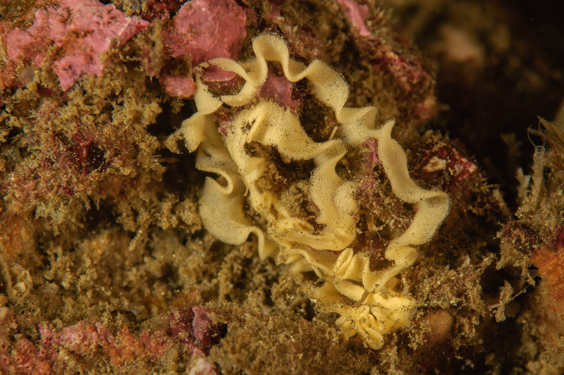 Jorunna pardus egg mass<br /> Golf Ball Reef, Palos Verdes, Los Angeles County, California<br /> Photo by Phil Garner