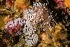 Cuthona divae laying eggs<br /> Halfway Reef, Palos Verdes, Los Angeles County, California