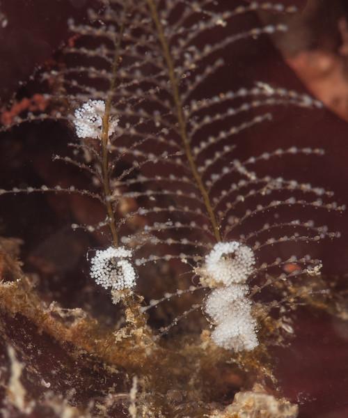 Eubranchus rustyus eggs?<br /> Garden Spot, Palos Verdes, California<br /> Photo by Merry Passage