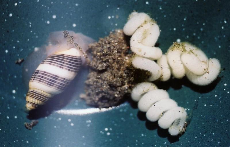 Rictaxis punctocaelatus