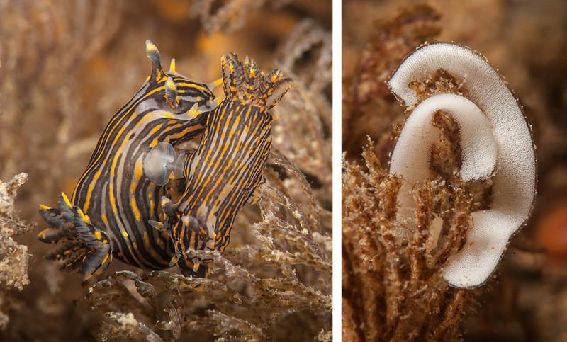 Polycera atra mating