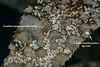 Corambe steinbergae & 1 lone Corambe pacifica