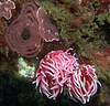 Okenia rosacea