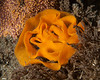 Nudibranch eggs neon orange<br /> Torrance Reef, Los Angeles County, California