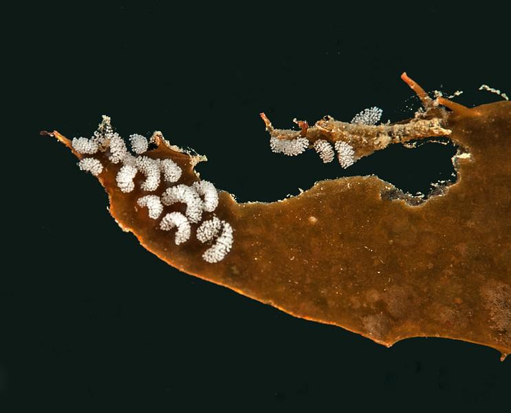 Eubranchus rustyus egg masses?<br /> Golf Ball Reef, Palos Verdes, California
