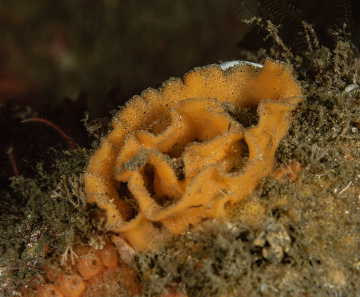 Probably Thordisa rubescens<br /> Golf Ball Reef<br /> Photo by Phil Garner<br /> <br /> As of 9/2017, Thordisa laying eggs have been seen on Golf Ball Reef, Halfway Reef and Kevin's Reef, all on the west side of Palos Verdes Peninsula.