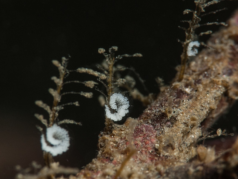 Possibly the egg mass of Eubranchus rustyus