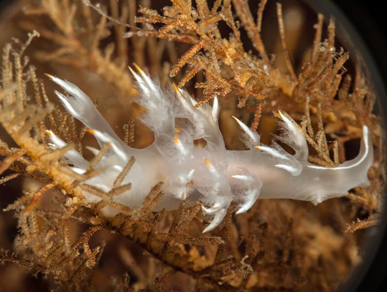 Dendronotus  albus
