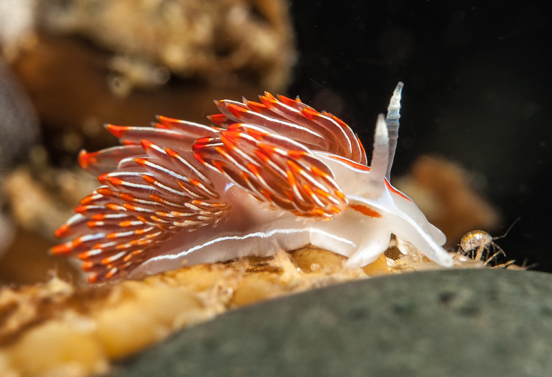 Hermissenda crassicornis Snowfall, Browning Pass, British Columbia