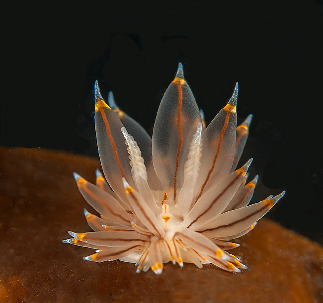 Antiopella fusca, formerly Janolus fuscus<br /> Hoodie Nudi Bay, Browning Passage, British Columbia